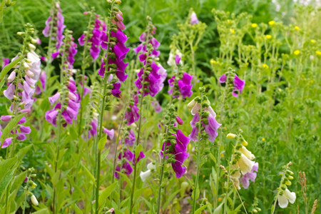 the purple flowers Common Foxglove in summer