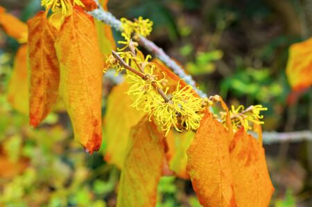 Hamamelis virginiana is blooming in fall, a herbal plant