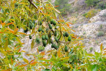 many fresh avocado fruits on the tree in an orchard