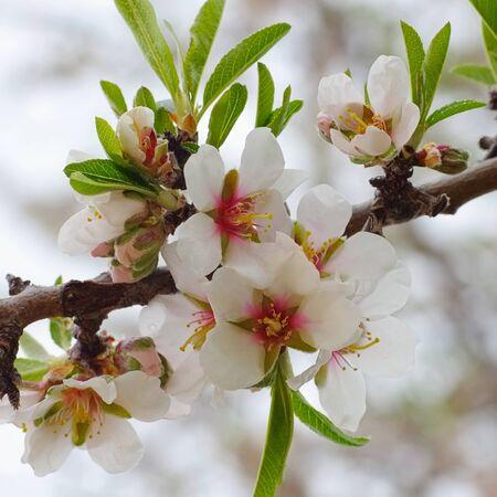 tanti Mandorli in Fiore in primavera Archivio Fotografico