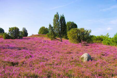 landschap Lüneburger Heide in de herfst bij Wilsede