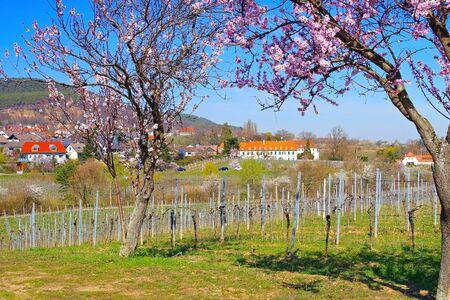 monastery Hildebrandseck in Gimmeldingen during the almond blossom, Germany 스톡 콘텐츠