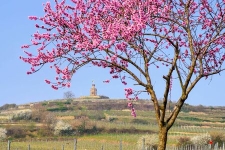 Bad Duerkheim Flag tower during almond blossom in Rhineland Palatinate in spring, Germany