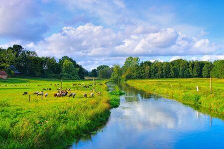 Grazing German Grey Heath in the Lueneburg Heath near a river