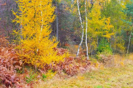 yellow larches trees in the autumn forest