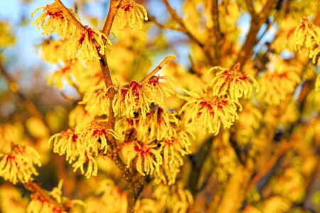 Hamamelis with yellow flowers is blooming in winter