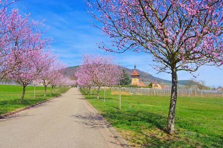 Geilweilerhof  during almond blossom in Rhineland Palatinate in spring, Germany