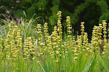 pale yellow-eyed-grass or Sisyrinchium striatum, an evergreen perennial plant 写真素材