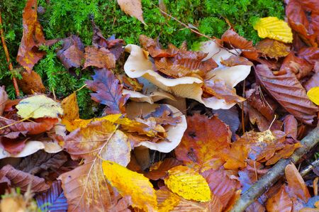 clouded agaric or Clitocybe nebularis in autumn forest 写真素材