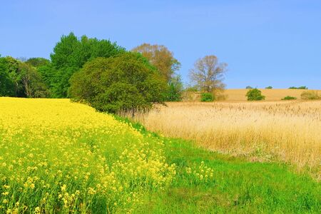 Rape field and reeds, idyllic landscape in spring
