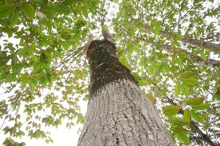 tree canopy: Tree canopy Stock Photo