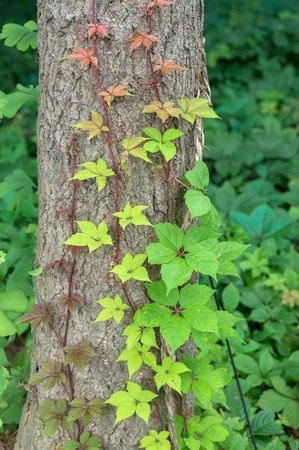 climbed: green leaves on tree Stock Photo