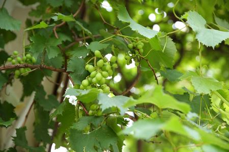 Green grape vineyard Stock Photo