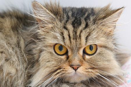 Siberian Senri cat with big eyes 写真素材