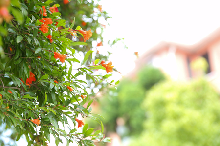Pomegranate tree Imagens
