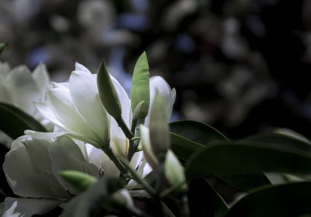 pubertad: Las ramas que florecen magnolia blanca