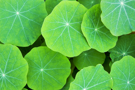 bakground: green lotus leaves close up view