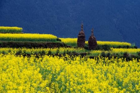 enrolled: Canola flower Stock Photo