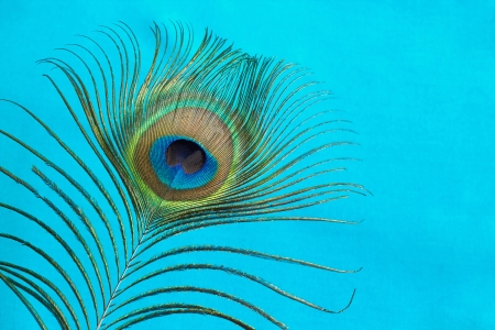 Peacock Feather on a blue  background