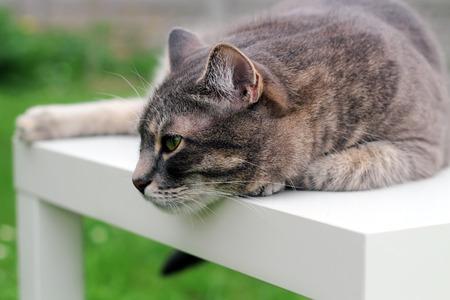 gray cat: Beautiful gray  relaxing  elegant cat