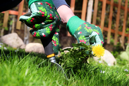 A man pulling dandelion  weeds out from the grass loan Imagens