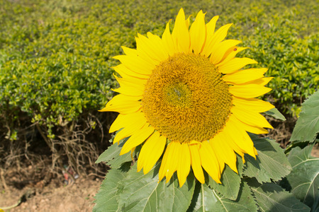 closedup: a closed-up shot of sunflower