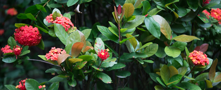 walking in the park and find  Ixora sinensis Lam Stock Photo