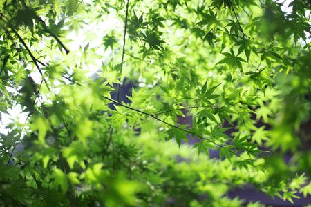 Japanese maple leaves against the sunlight Archivio Fotografico