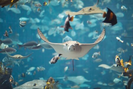 Group if stingray swimming in aquarium.