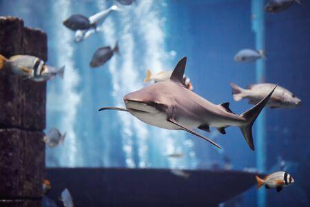 The Shark swimming in large aquarium.