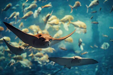 Group if stingray swimming in aquarium. Standard-Bild