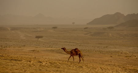 desert storm: Camel far in Arabian Desert Storm  alone wildlife Egypt