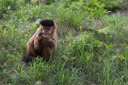 omnivore animal: Brown Capuchin Monkey, Cabus apella, in summer, He is sitting on the grass  chews grass
