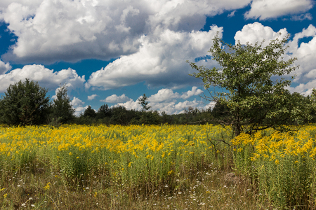 manzana verde: Yellow flowers on a green meadow with apple trees and a blue sky and bright fluffy clouds Foto de archivo