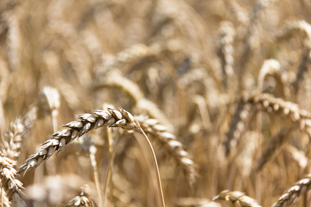 yellow ear of wheat in Ukraine close-up Banque d'images