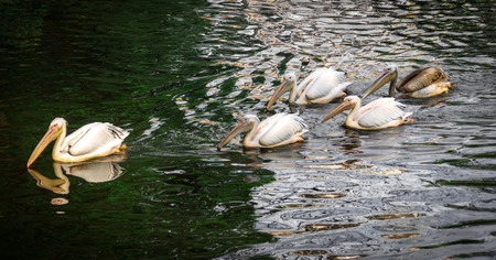 groping: white pelicans on green water Family five birds