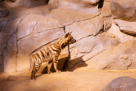 hot stones: Spotted Hyena on a hot summer evening on hot stones