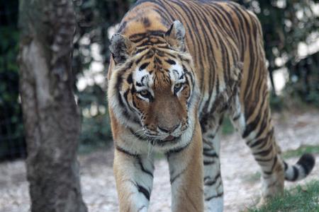 Vecchia tigre Archivio Fotografico - 88618433