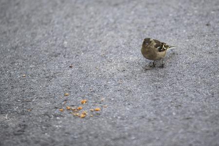 little sparrow eating on street