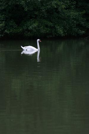 swan and reflex on the lake Archivio Fotografico