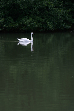 swan and reflex on the lake 스톡 콘텐츠