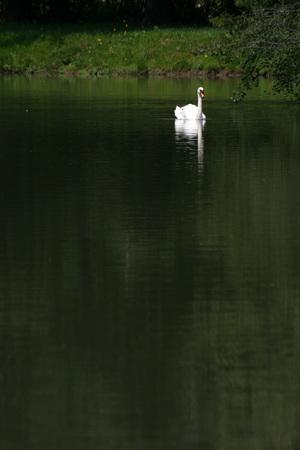 swan and reflex on the lake Banco de Imagens