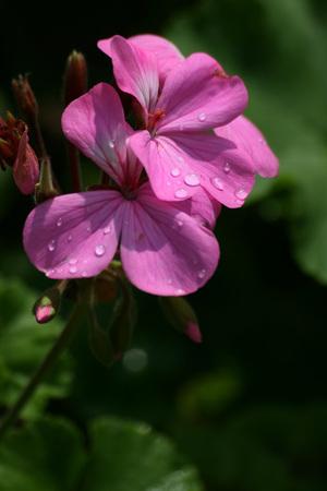 Macro del fiore viola Archivio Fotografico - 92040807