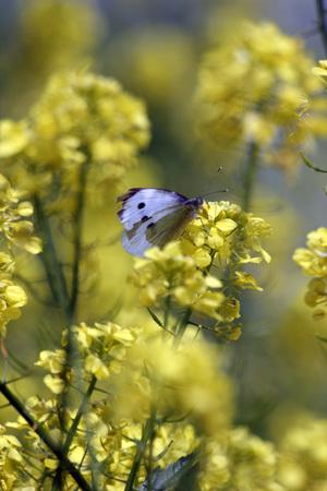 Farfalla bianca sul fiore giallo Archivio Fotografico - 92058409