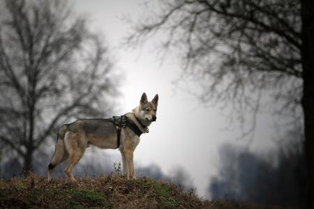 portrait of Czechoslovakian Wolf