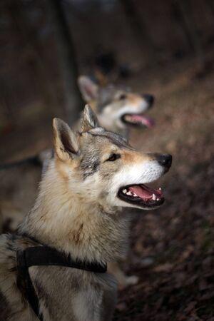 Czechoslovakian wolf in nature