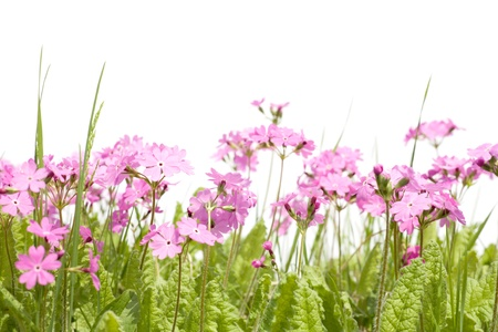 field of flowers: Wild forest primula and grass isolated on white. Solar lighting. Spring.