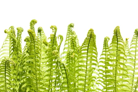 polypodiopsida: Leaves of wild young fern isolated on white. Solar lighting. Spring.