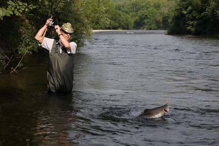 gevangen: Visser vangsten van zalm (roze zalm) op de rivier.