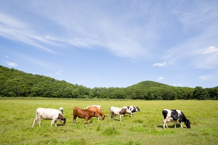 Cows are grazed on a meadow photo